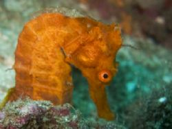 Seahorse in punta Argentina, Playa del coco, Costa Rica by Martin Van Gestel 